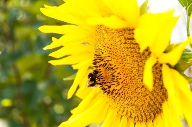 sunflower-943961_640