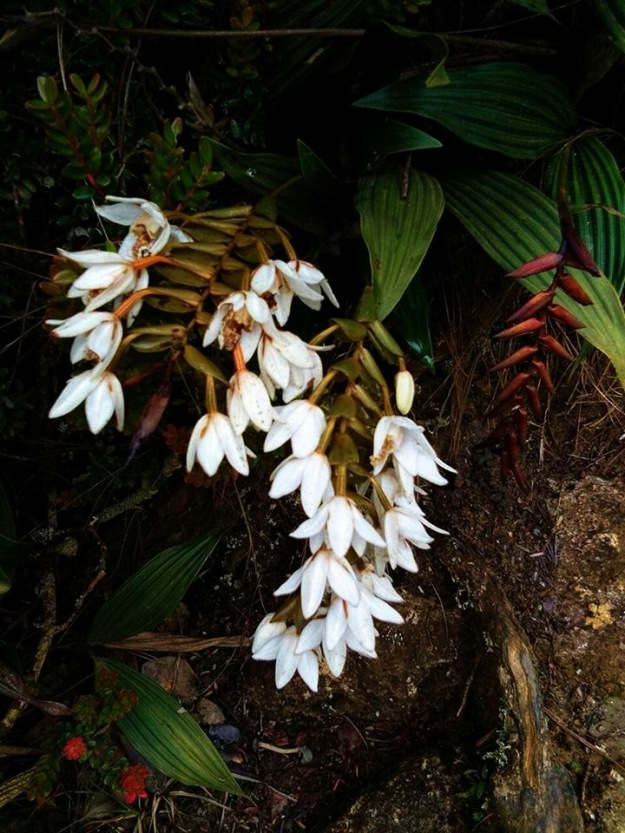 kinabaluorchids1