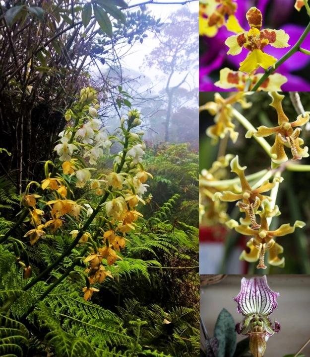 kinabaluorchidscombos